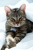 one year old striped, tabby cat staring at the camera, the cat is lying in the middle of white sheets on a bed and has it\