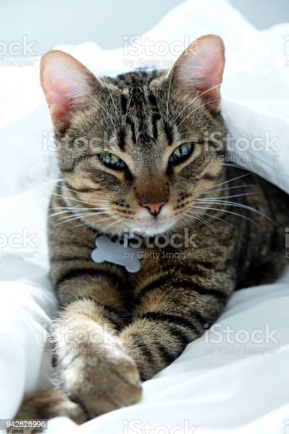Kitten lying between white bed sheets staring ath the camera picture id942828996?b=1&k=6&m=942828996&s=612x612&h=0lk f1oji33diklemhadwamsooofprfcwtivhr8hgrq=