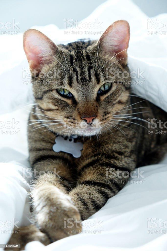 chaton qui s'étend entre les draps de lit blanc regarder ath la caméra - Photo