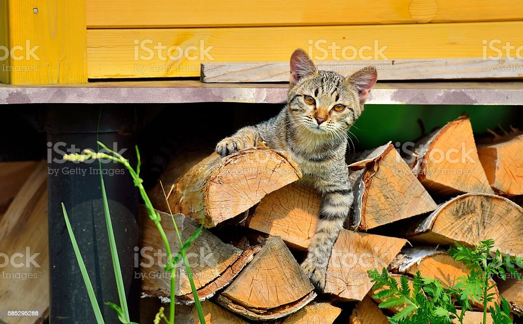 Cтоковое фото Kitten lying on firewood under the house