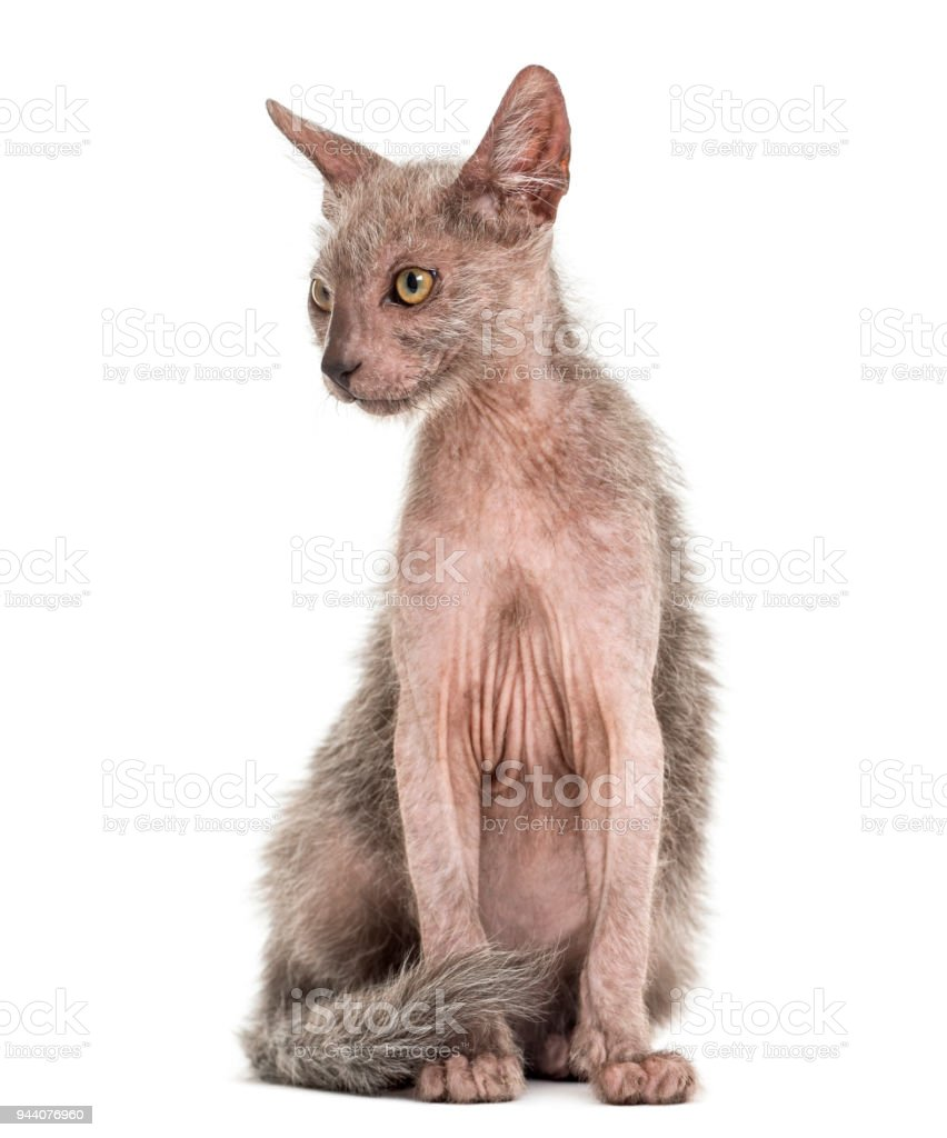 Kitten Lykoi cat, 3 months old, also called the Werewolf cat against white background stock photo