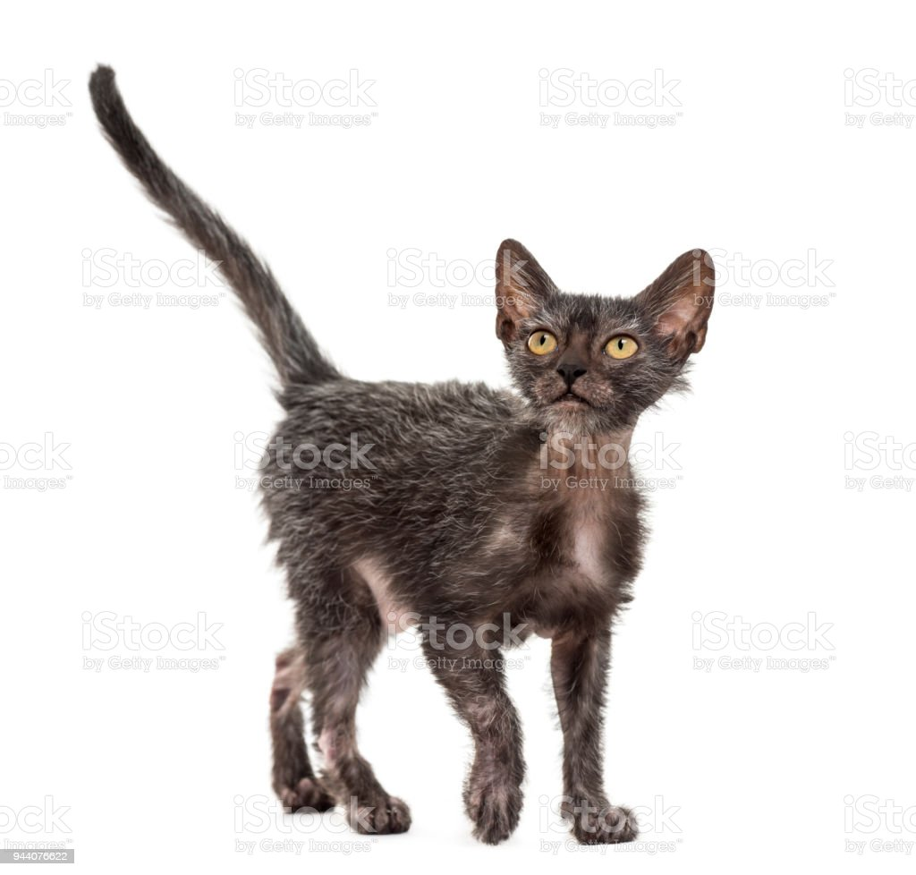 Kitten Lykoi cat, 3 months old, also called the Werewolf cat looking up against white background stock photo