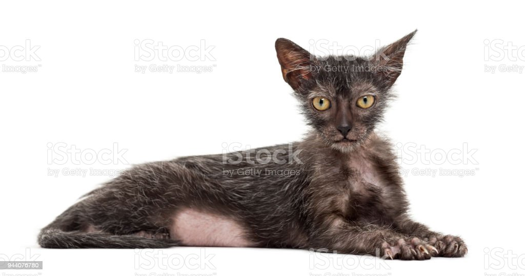 Kitten Lykoi cat, 3 months old, also called the Werewolf cat lying against white background stock photo
