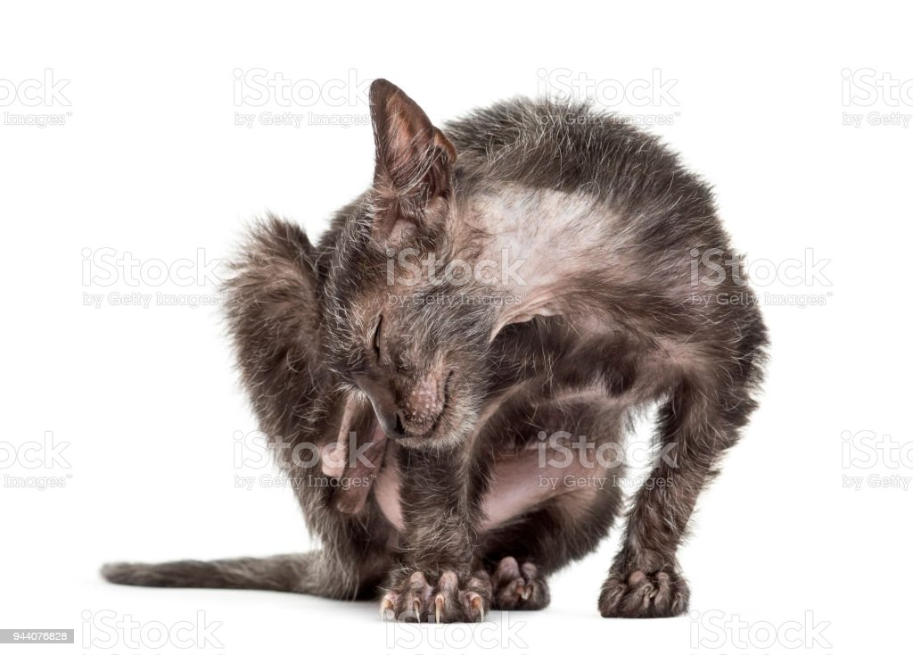 Kitten Lykoi cat, 3 months old, also called the Werewolf cat scratching against white background stock photo