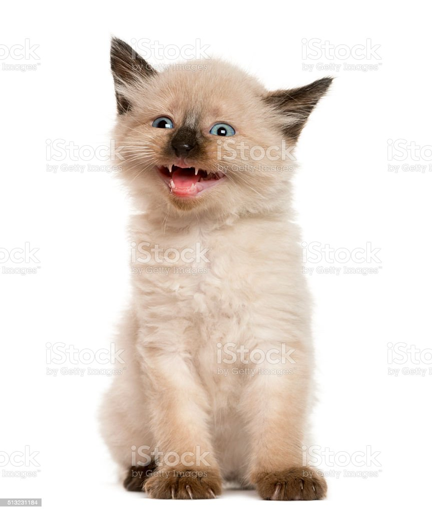 Kitten meowing in front of white background stock photo