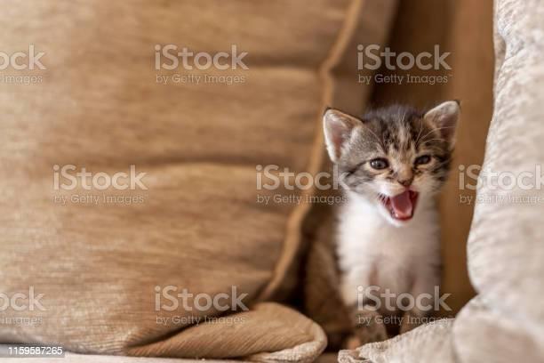 Kitten meowing on the sofa picture id1159587265?b=1&k=6&m=1159587265&s=612x612&h=lis3gz4t26 42xvwuzgj8jw2smxxacuju7gf6myfwxi=