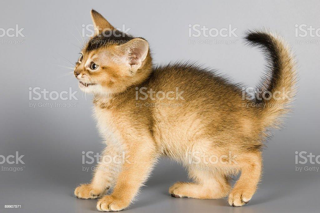 Mascota de raza de abisinia foto de stock libre de derechos