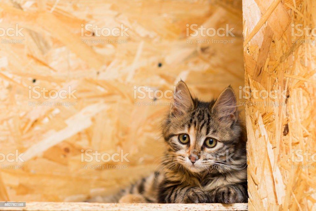 Kitten of the breed Kurilian Bobtail stock photo