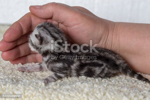 Kittens are two days old a joy. They still blind. This is a young cat mother. This first posterity.
