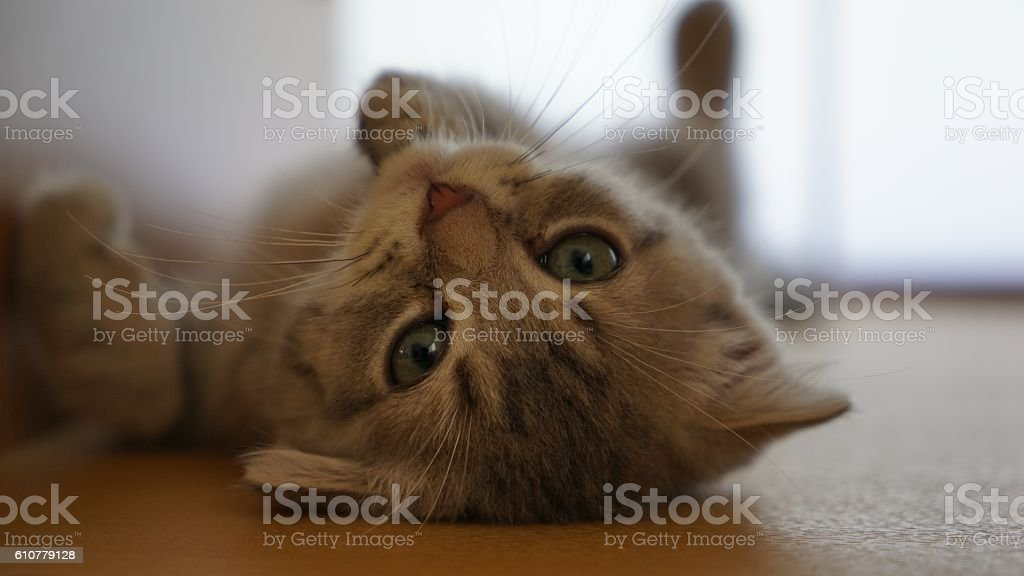 Kitten of the Scottish fold which lies down  charmingly stock photo