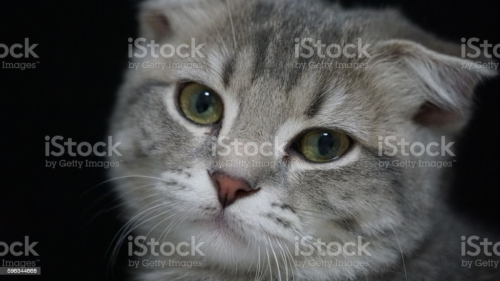 Kitten of the Scottish fold which looks at this lovelily royalty-free stock photo