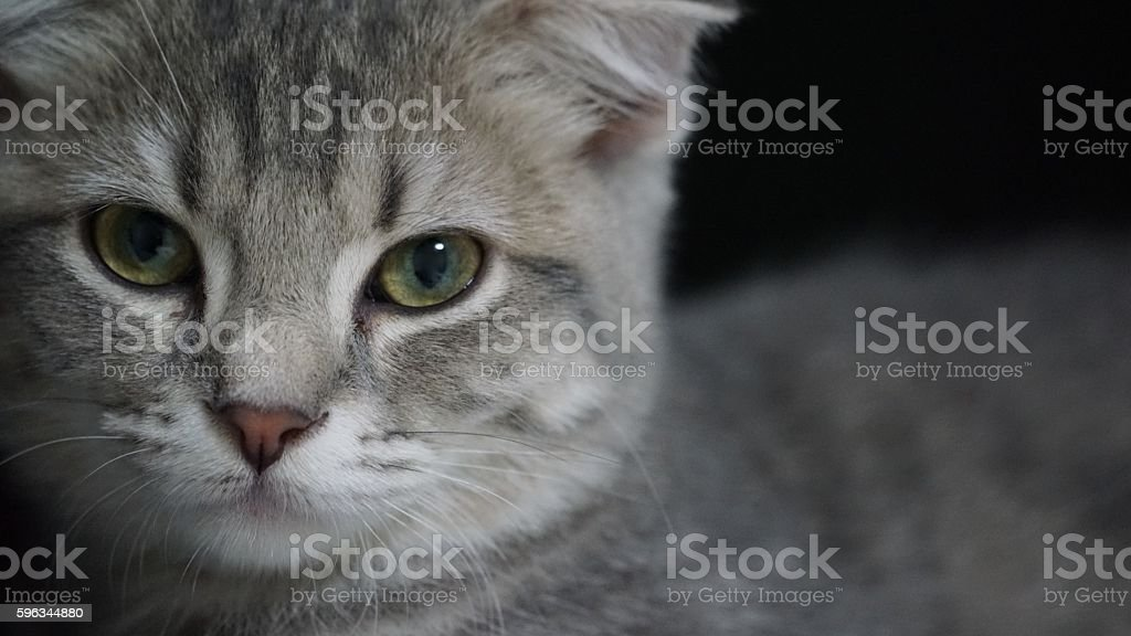Kitten of the Scottish fold which looks at this royalty-free stock photo