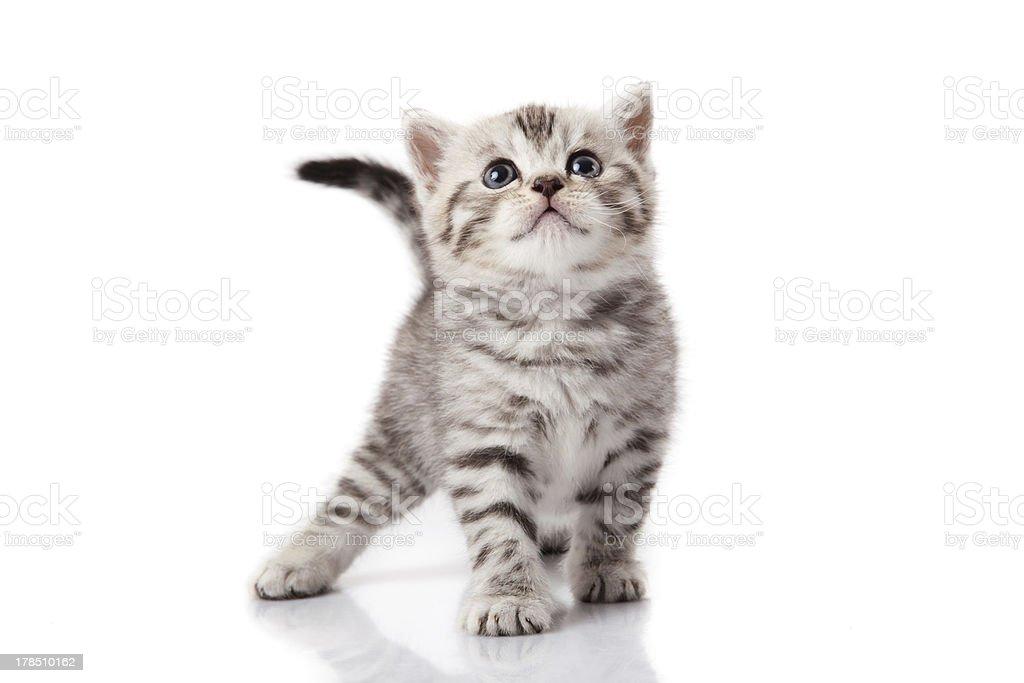 kitten on a white background royalty-free stock photo