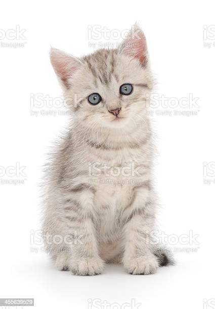 Kitten on a white background picture id455639529?b=1&k=6&m=455639529&s=612x612&h=w37fr 6i503qr0zuy2bvkovh3yeo6gqi wsbnto i6k=