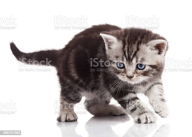 Kitten on a white background picture id486291883?b=1&k=6&m=486291883&s=612x612&h=rx7f 6sepau ivyuphlehafbgstpw3u7esllxm1rr2i=