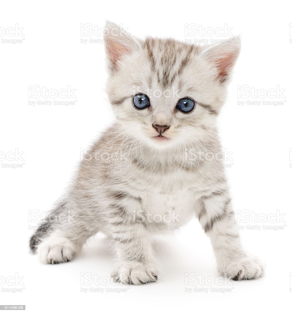 Kitten and Stock s iStock