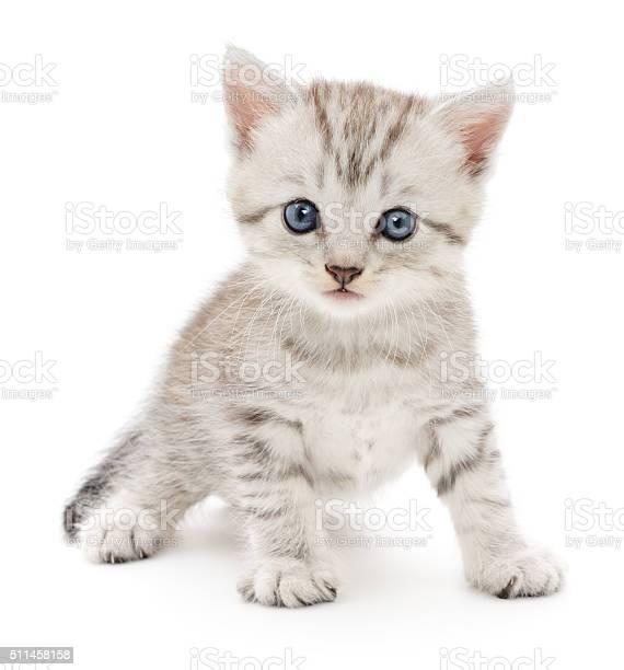 Kitten on a white background picture id511458158?b=1&k=6&m=511458158&s=612x612&h=ibpkitdfqxdlyc7hyt2opd5rh5rj qcphe2sn8dlaq0=