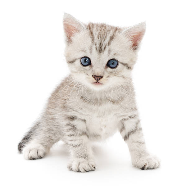 kitten on a white background - kitten stock photos and pictures