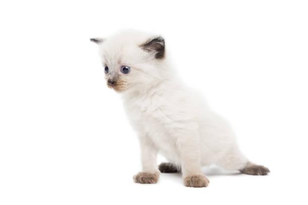 Kitten on a white background picture id825678342?b=1&k=6&m=825678342&s=612x612&w=0&h=hftyxlrm97qizjz6lihr4yv j4bynyc6iy8q0dammtg=
