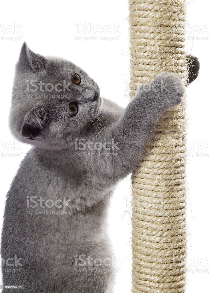 kitten on the scratching post royalty-free stock photo