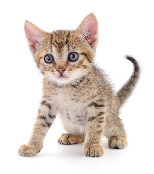 Kitten on white background picture id1253250736?b=1&k=6&m=1253250736&s=612x612&w=0&h=qwnbrvyakm5vkieagz0k7ou5c3kgj8mtfhasgnmt c4=