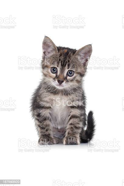 Kitten on white background picture id157593520?b=1&k=6&m=157593520&s=612x612&h=8rycspauylmz4inut2tvfa7b57t44jyr8nyswxbbhve=