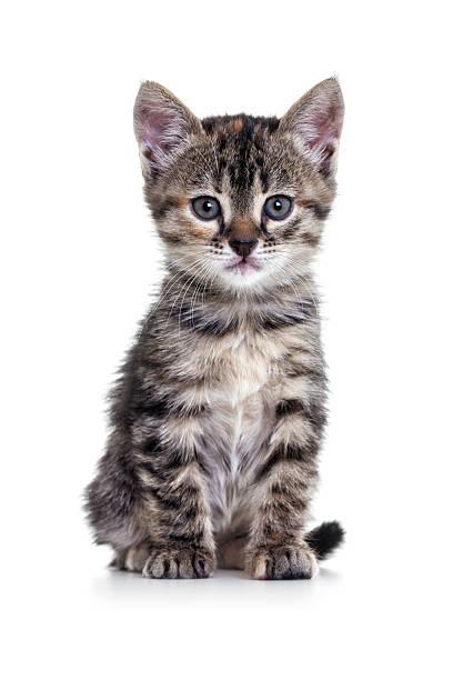 Kitten on white background picture id172326821?b=1&k=6&m=172326821&s=612x612&w=0&h=mamcudf8q6udubfx8vaaefx4ljoxlz umsdc1dl2fgi=
