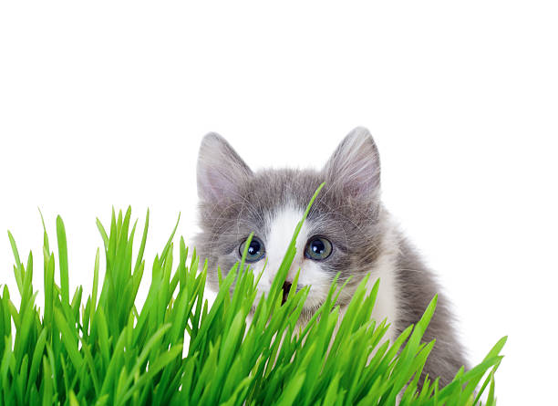 Kitten peeking out of the grass picture id154323855?b=1&k=6&m=154323855&s=612x612&w=0&h=8nlbl fwp8h4fiepqpqvfijpp2rotwp3z1g5zarfovg=