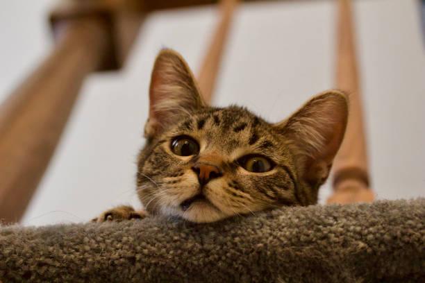 Kitten peering over a staircase baluster picture id1132675534?b=1&k=6&m=1132675534&s=612x612&w=0&h=gwb4wizmlqxnr1ugjzxlmq vc6uuzemc4jujupzwiu0=