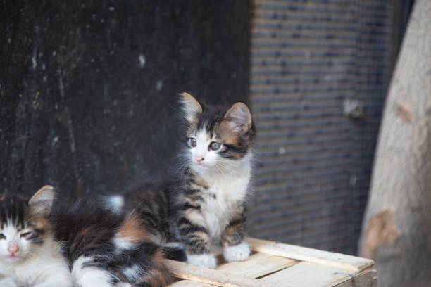 kätzchen - grau getigerte katzen stock-fotos und bilder