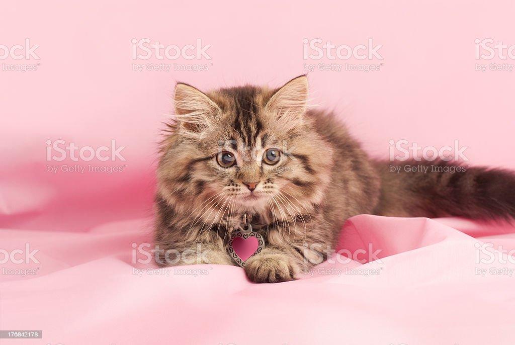Kitten Playful kitten on a pink background. Animal Stock Photo