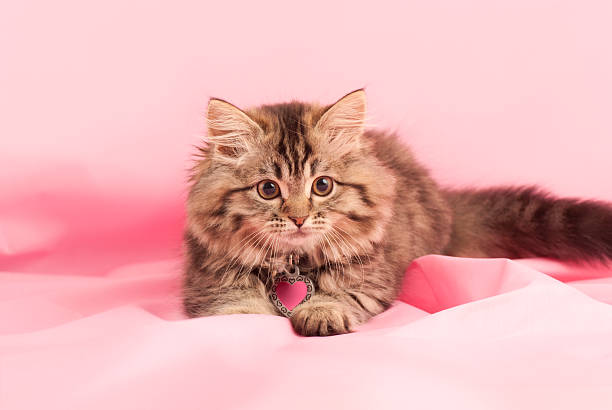 Kitten Playful kitten on a pink background. kitten cute valentines day domestic cat stock pictures, royalty-free photos & images