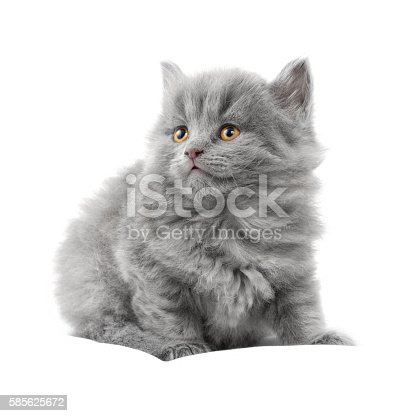 Fluffy gray kitten with orange eyes on a white background