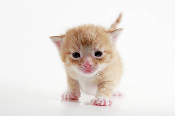 Kitten  newborn animal stock pictures, royalty-free photos & images