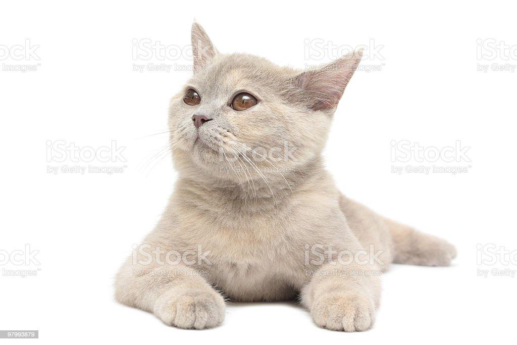 kitten royalty free stockfoto