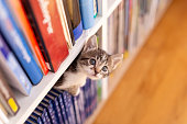 Adorable little kitten playing around book shelves in the living room, climbing, hiding and peeking