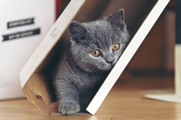 Kitten playing in a cardboard picture id906357316?b=1&k=6&m=906357316&s=612x612&w=0&h=swlemlv4raedv8w6wxos5iamcliur2lksqiqnm6d9uo=