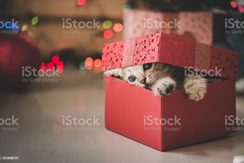 kitten playing in a gift box stock photo