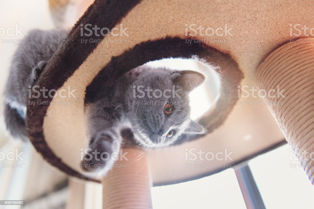 Kitten playing in a tree cat toy stock photo