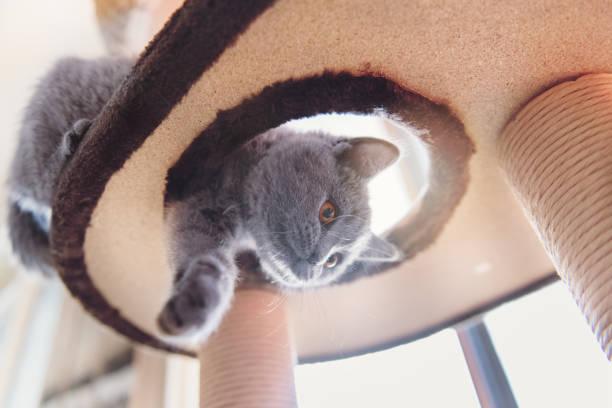 Kätzchen spielen in einer Baum-Katzenspielzeug – Foto