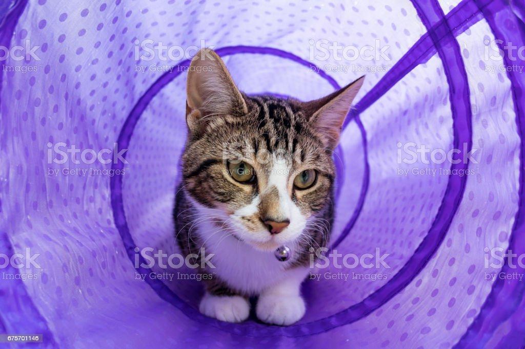 Kitten Playing in Purple Tube royalty-free stock photo