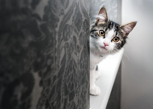 Kitten playing peek-a-boo