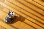 Top view of cute little grey and white kitten playing on the living room floor, chasing shadows