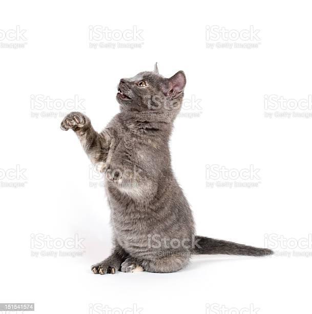 Kitten playing picture id151541574?b=1&k=6&m=151541574&s=612x612&h=zdpmwtbkx0 raegotfi hy64nqkubvpfrdqyio9eldm=