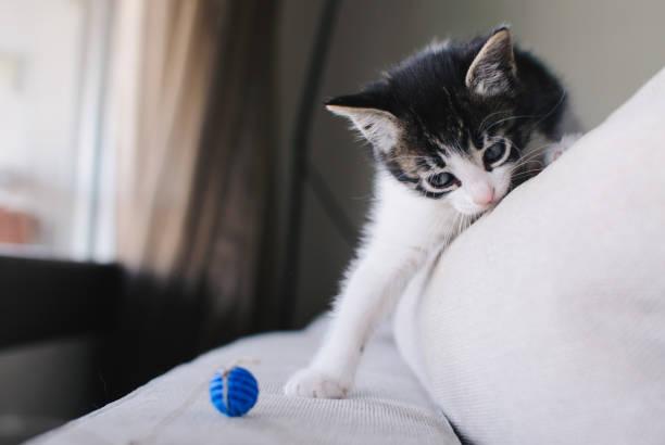 Kitten playing picture id901658476?b=1&k=6&m=901658476&s=612x612&w=0&h=sek51djtx91jqaabpkq7eykaakvkdfpuweeemu4hnd4=