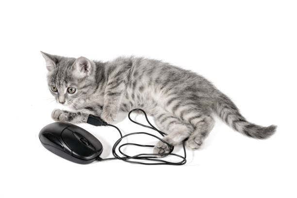 Kitten playing with computer mouse isolated on white background picture id806752088?b=1&k=6&m=806752088&s=612x612&w=0&h=hduxg9uczprpul4laldmenmsf5q9pfgevufbbatppmi=