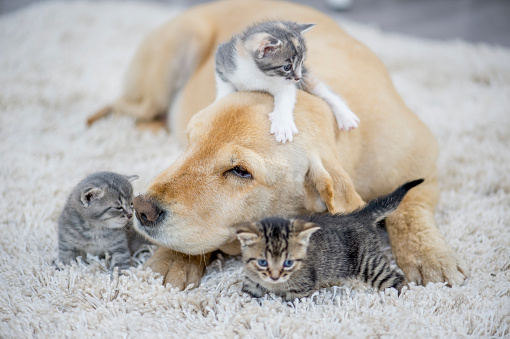 A golden retriever dog and three kittens are indoors in a living room. The kittens are playing around the dog.