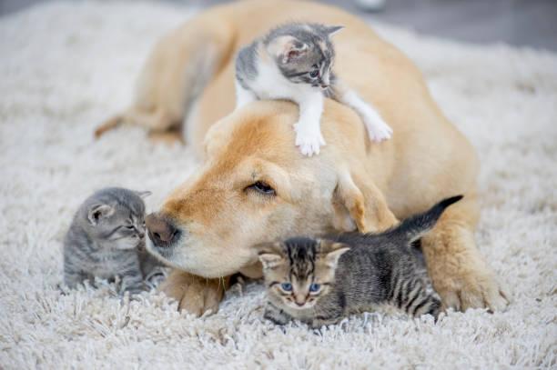 Kitten playing with dog picture id970819534?b=1&k=6&m=970819534&s=612x612&w=0&h=ceut5rnpilu2mxsq7ha9unuvzxmgznotrcv3ypfk1ic=
