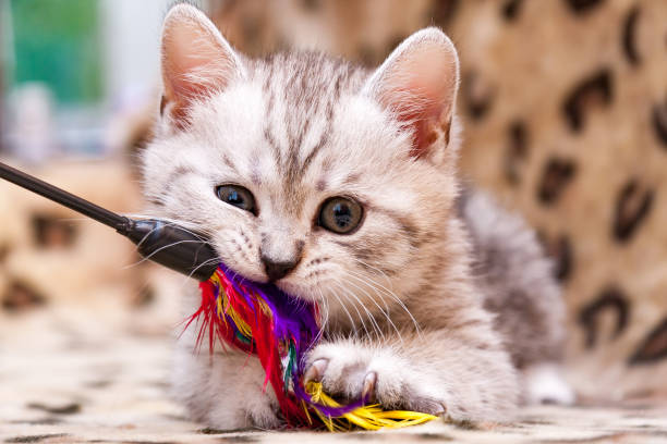Kitten playing with feather wand - small British kitten gray white color chews cat toy stock photo