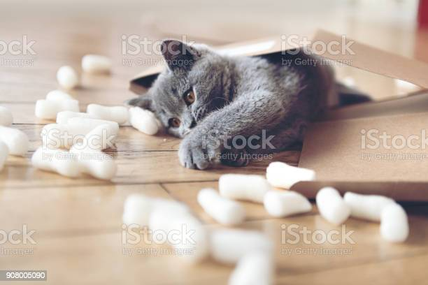 Kitten playing with packing peanuts picture id908005090?b=1&k=6&m=908005090&s=612x612&h=iin2ig0dyg1qvzgcbzuegwwfnsg2cc6dxtdaol31gee=